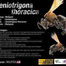 Geniotrigona_Thoracica_Kelulut