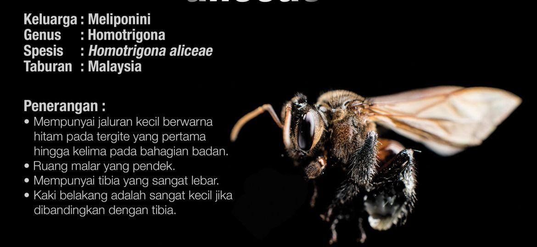 Homotrigona_Aliceae_Kelulut