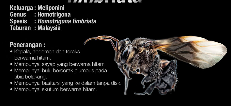 Homotrigona_Fimbriata_Kelulut