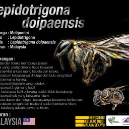 Lepidotrigona_Doipaensis_Kelulut