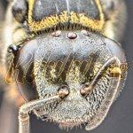 Lepidotrigona_Doipaensis_Kelulut_Galeri_3