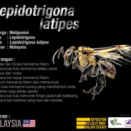 Lepidotrigona_Latipes_Kelulut