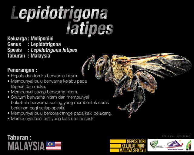 Lepidotrigona_Latipes_Kelulut