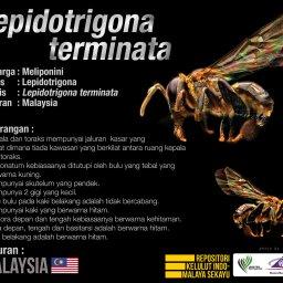 Lepidotrigona_Terminata_Kelulut