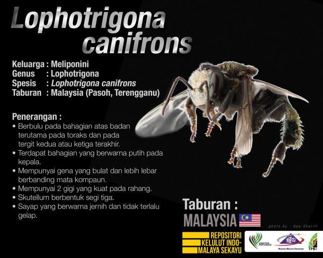 Lophotrigona_Canifrons_Kelulut