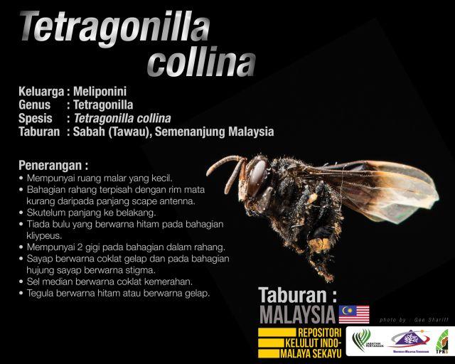 Tetragonilla_Collina_Kelulut