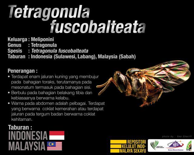 Tetragonula_Fuscobalteata_Kelulut