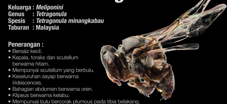 Tetragonula_Minangkabau_Kelulut
