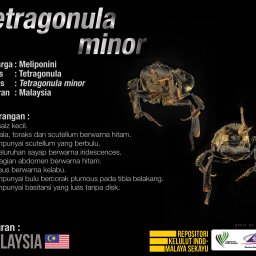 Tetragonula_Minor_Kelulut