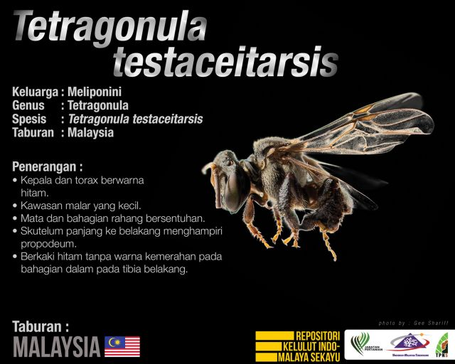 Tetragonula_Testaceitarsis_Kelulut