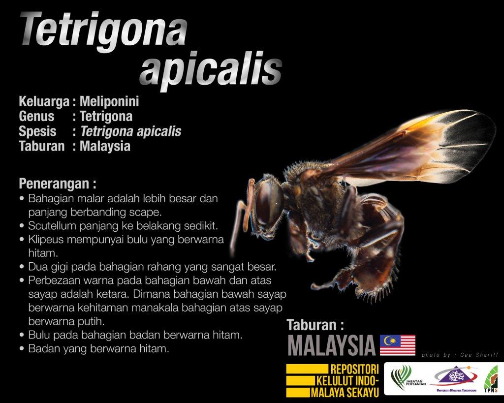 Tetrigona_Apicalis_Kelulut